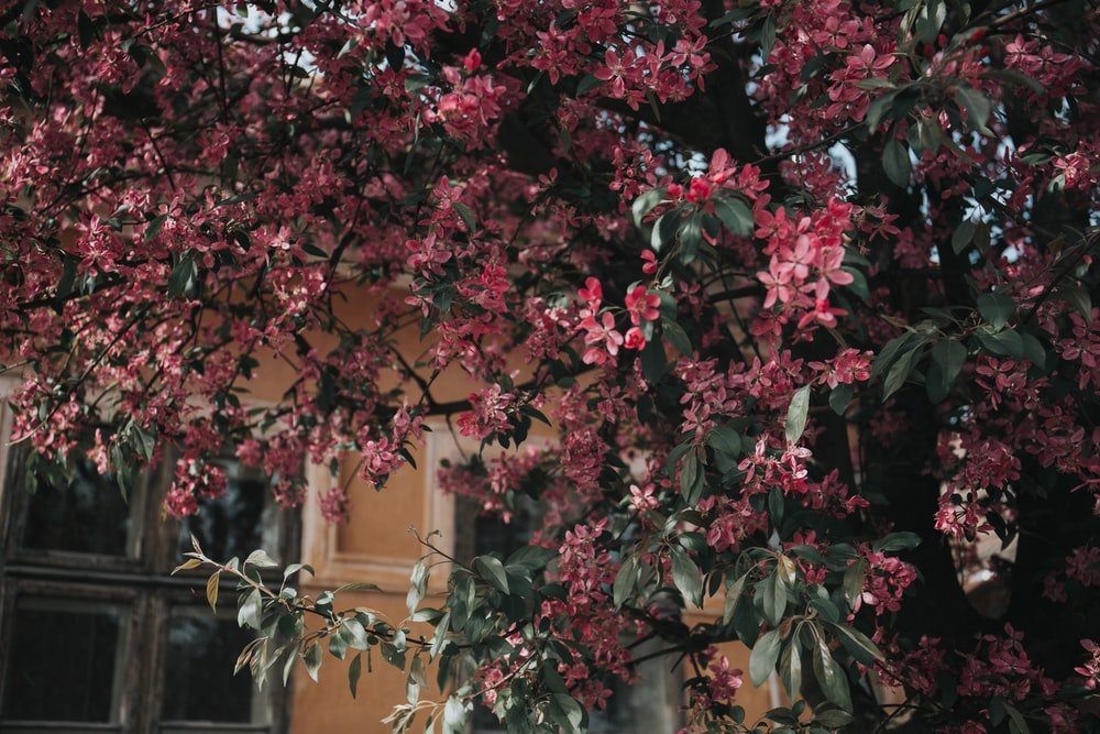 pink petaled flowering tree by house during daytime