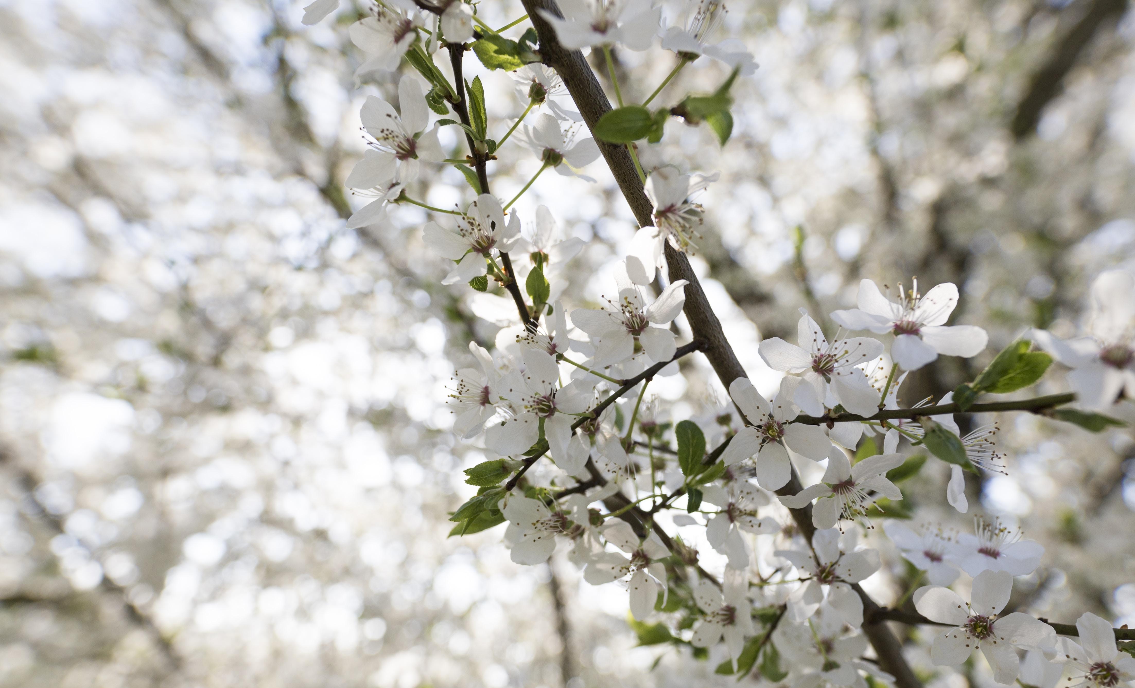 white flowers in tree branch in tilt shift photography