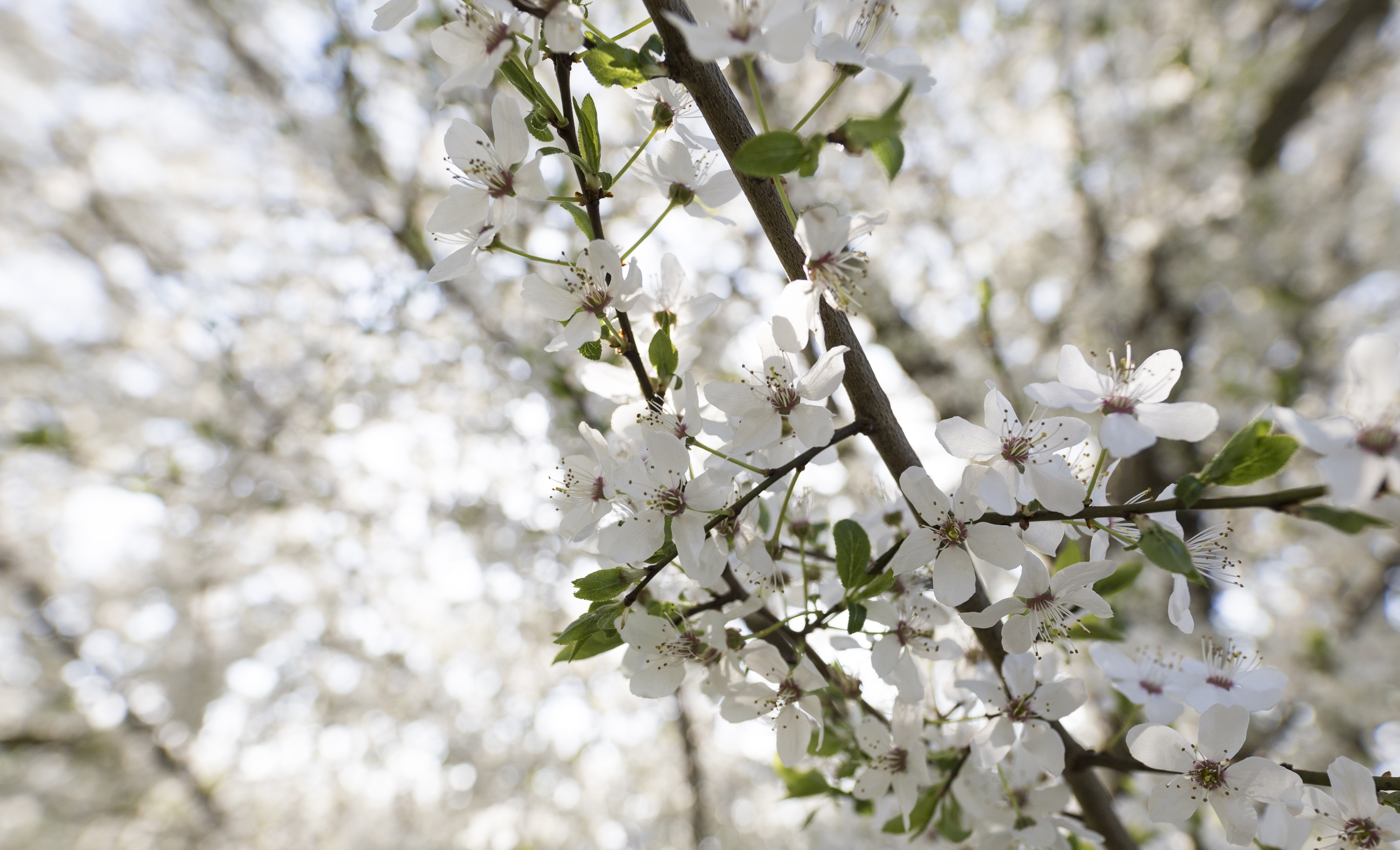 White blossom branch and green leaves in Spring