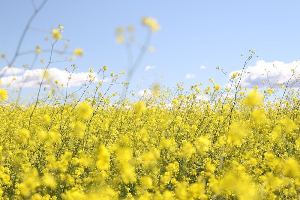 yellow flower field under clear sky