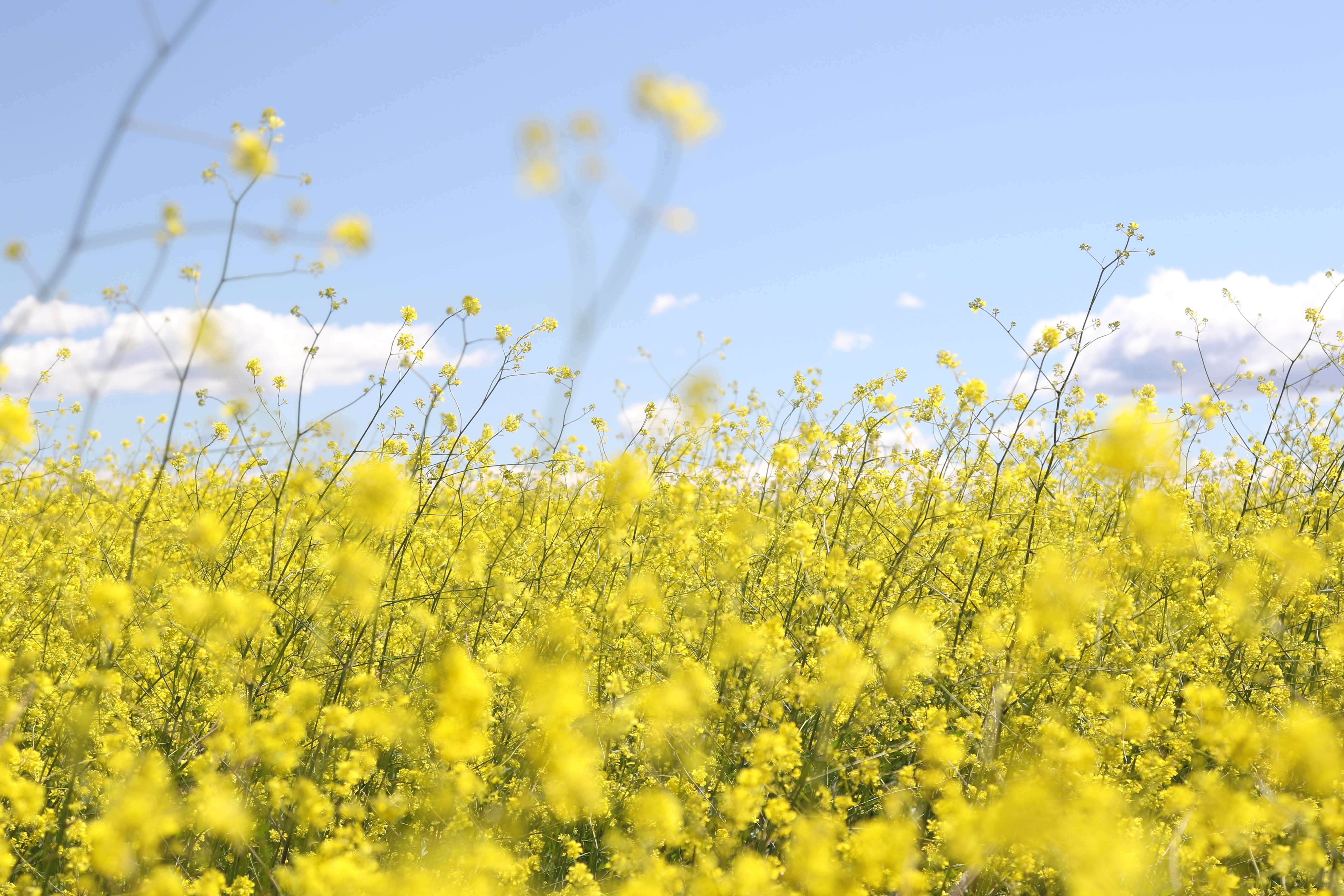 A field of blooming rapeseed under a blue sky