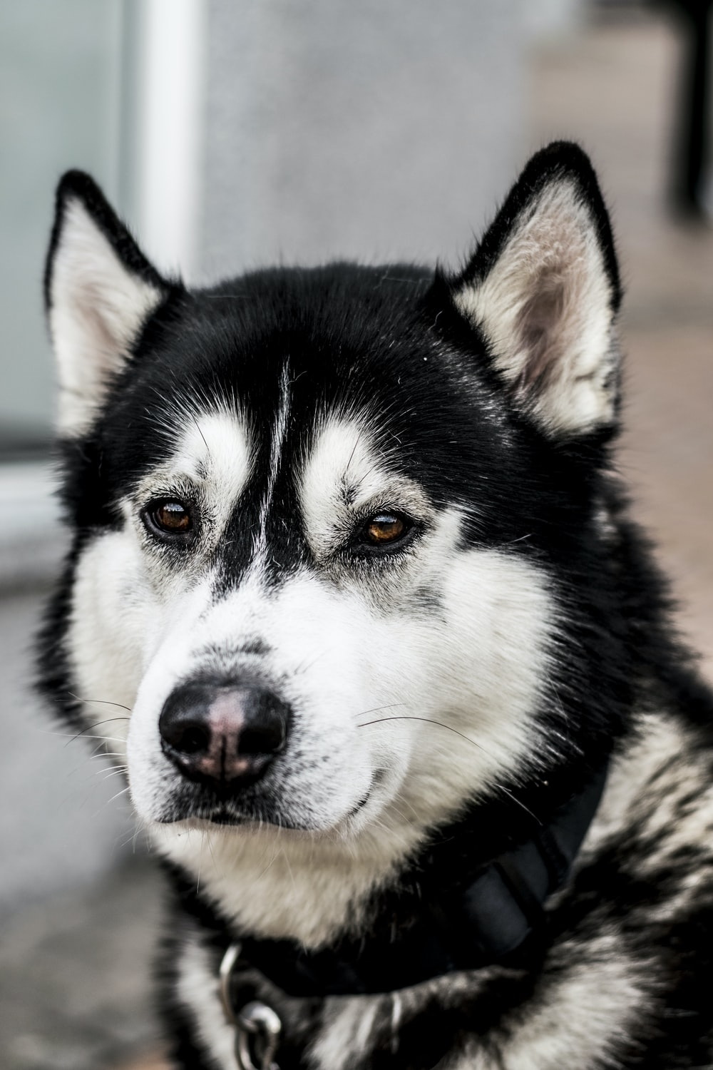 close up photo of black and white Siberian husky dog