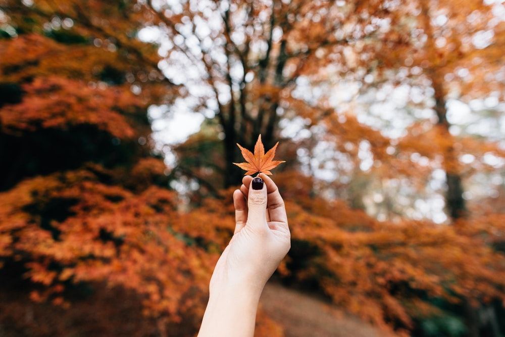 person showing 7-hand leaf in bokeh photography