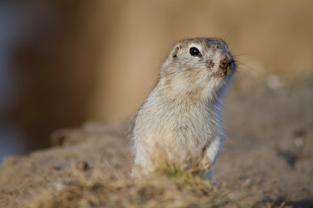 focus photography of standing gray rodent