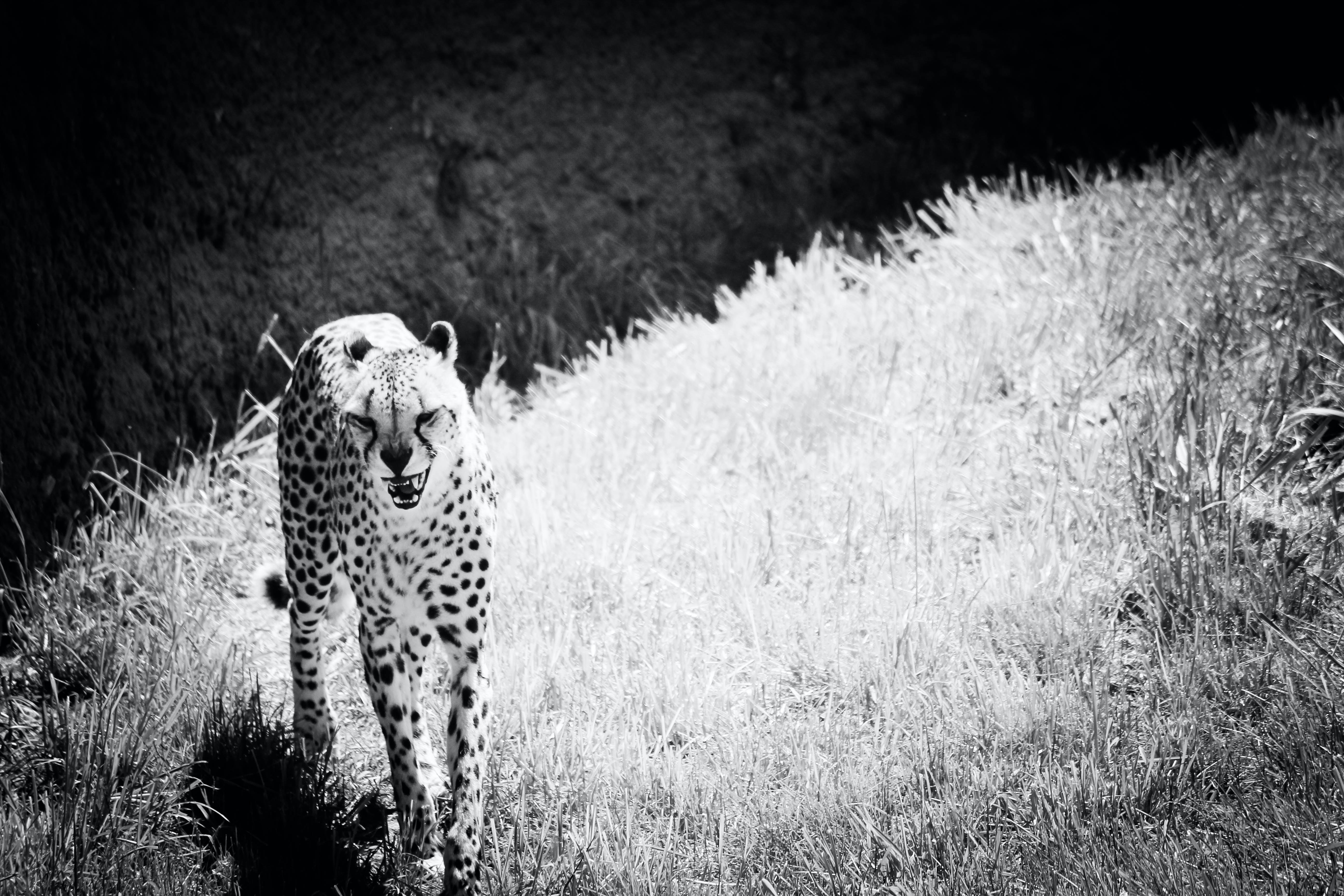 Black and white photo of cheetah moving through grass