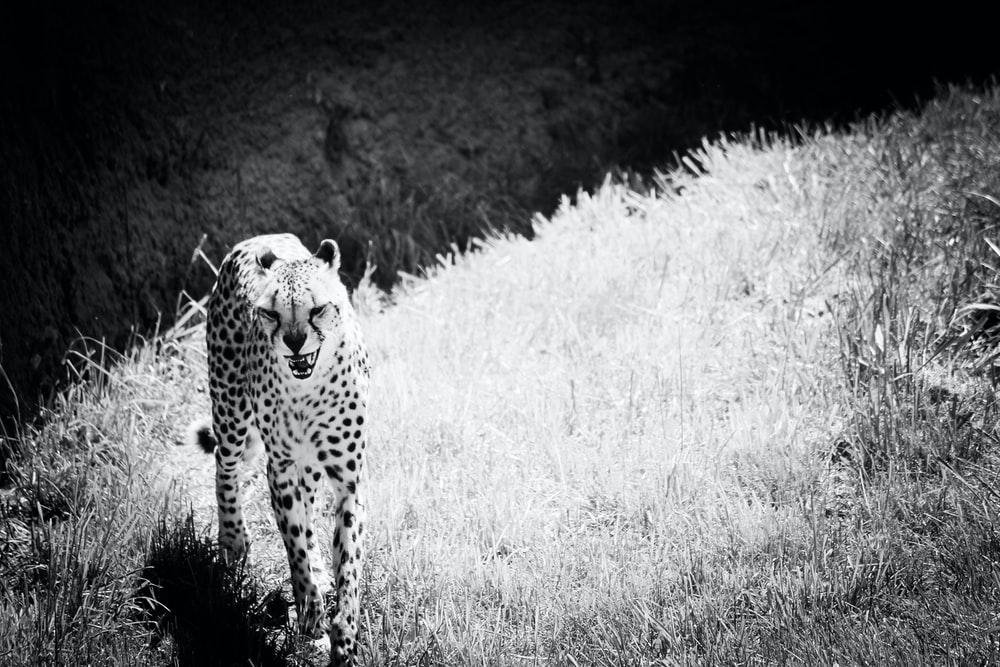 grayscale photography of cheetah on grasses