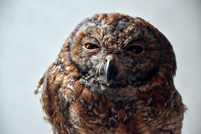 brown owl close-up photo