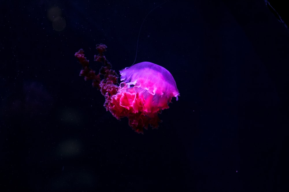 photo of pink and purple jelly fish