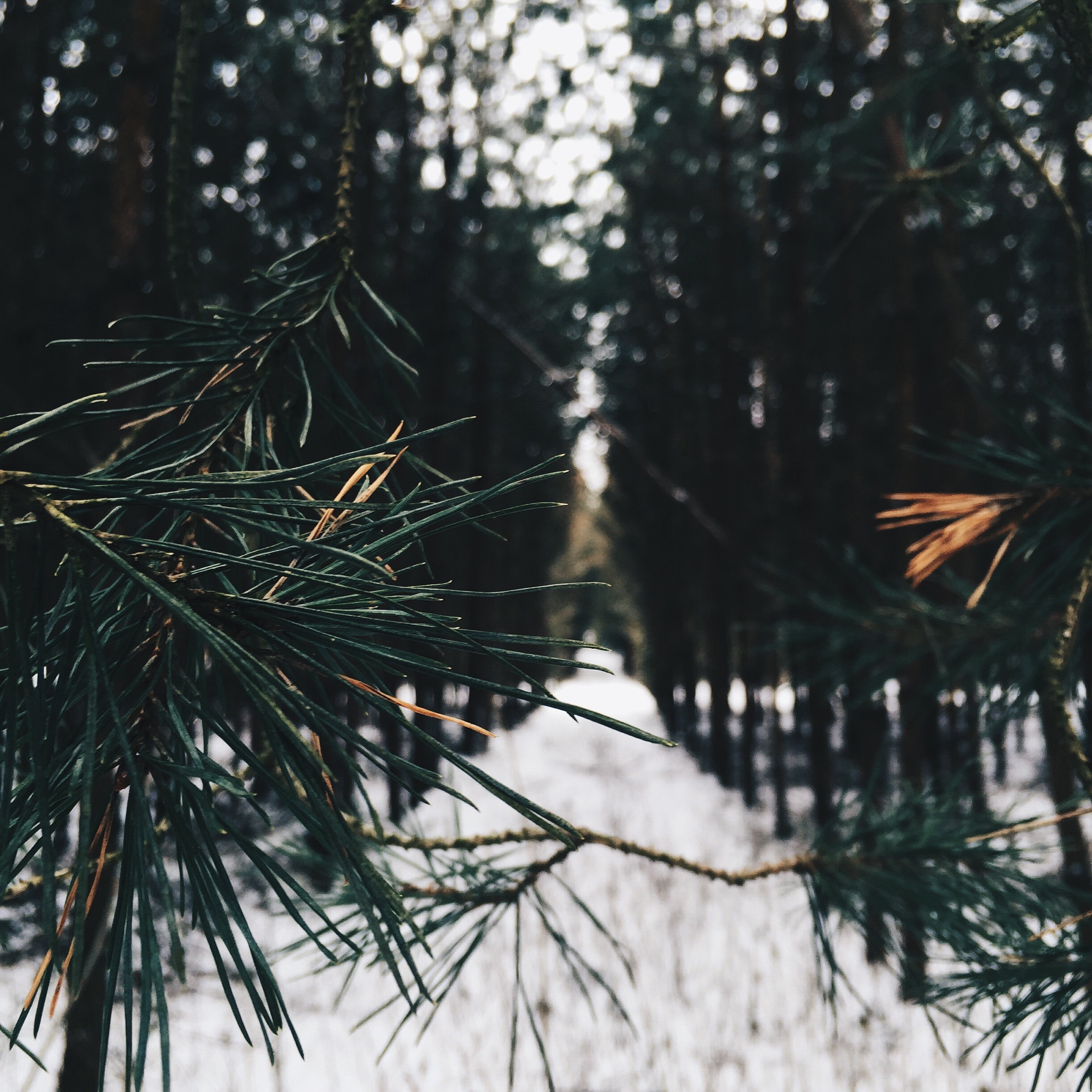 View of a snowy path in the evergreen pine forest through a branch of pine needles