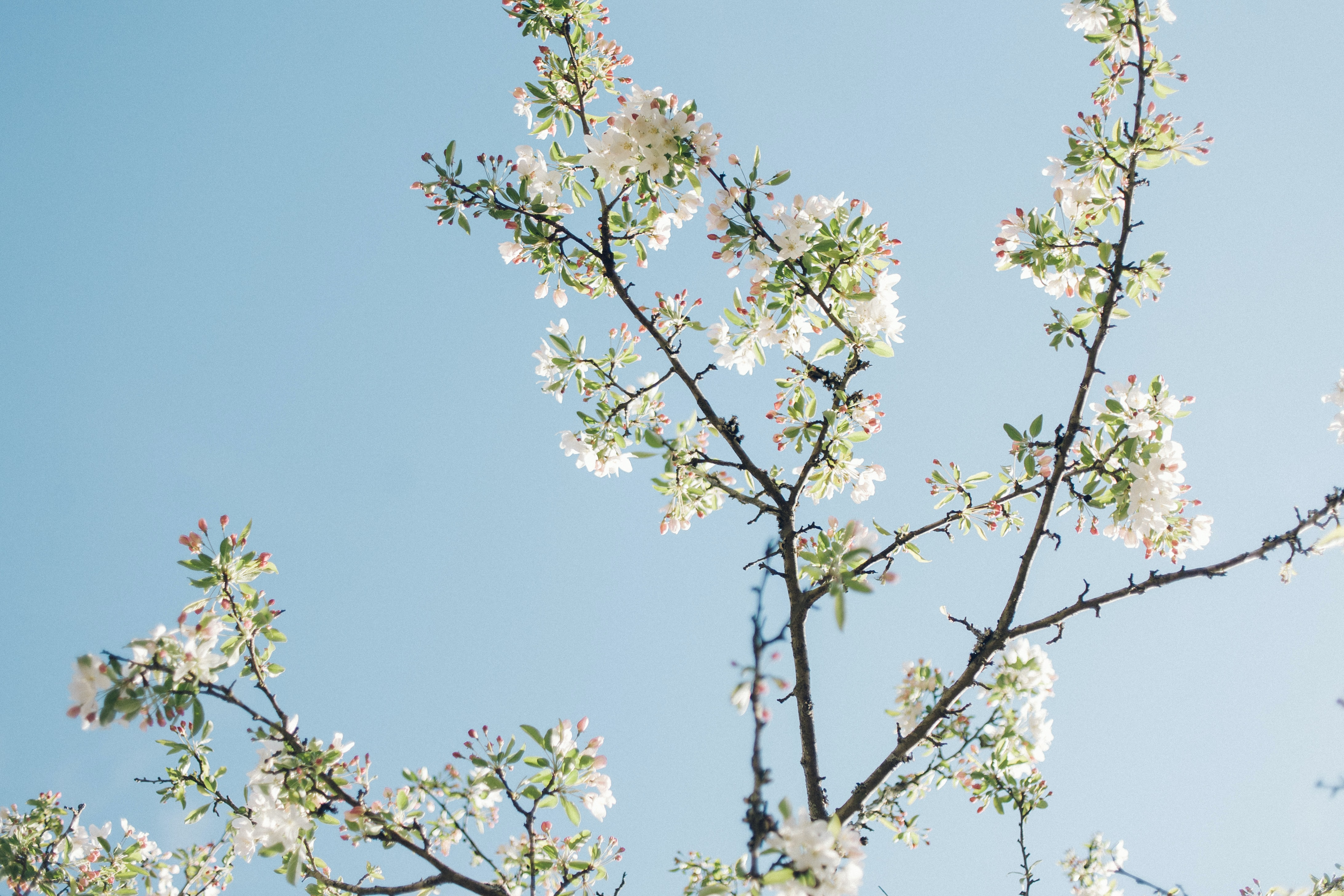 White cherry blossom branch against clear blue sky in Spring