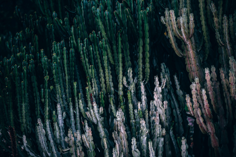 Rows of cacti and desert plants in Jardins de Mossèn Costa i Llobera