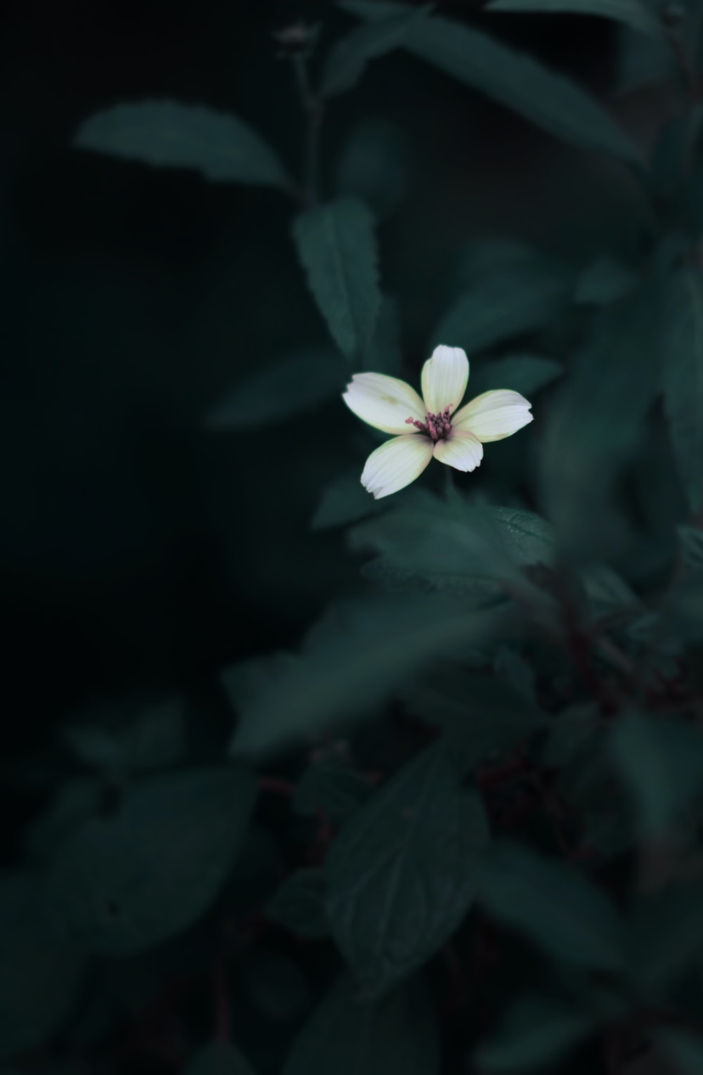 white 5-petaled flower in selective focus photography
