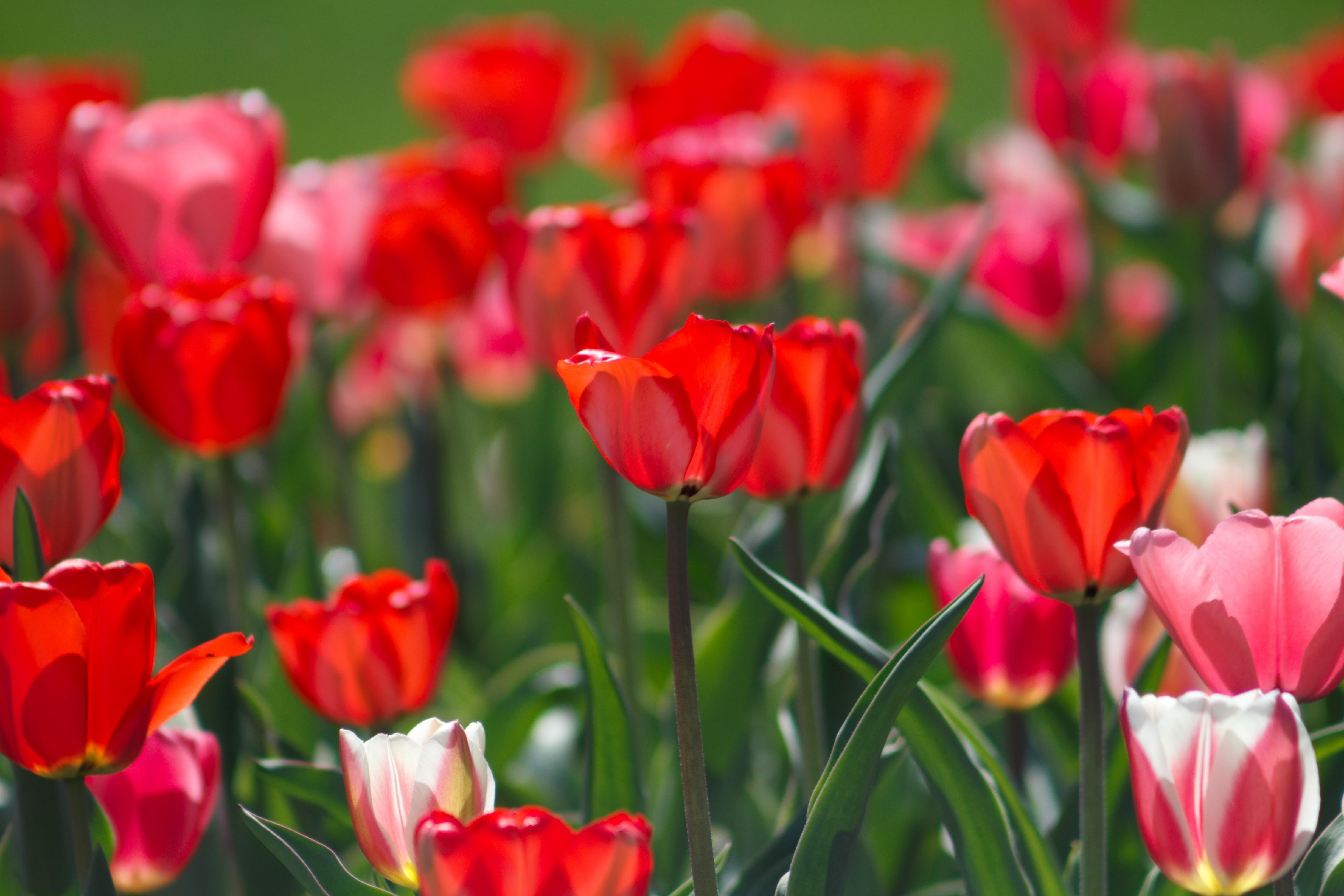 Seasonal tulip flowers in full bloom with green stems in Spring, Logan Utah Temple
