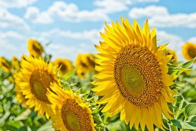 yellow sunflowers during daytime summer zoom background
