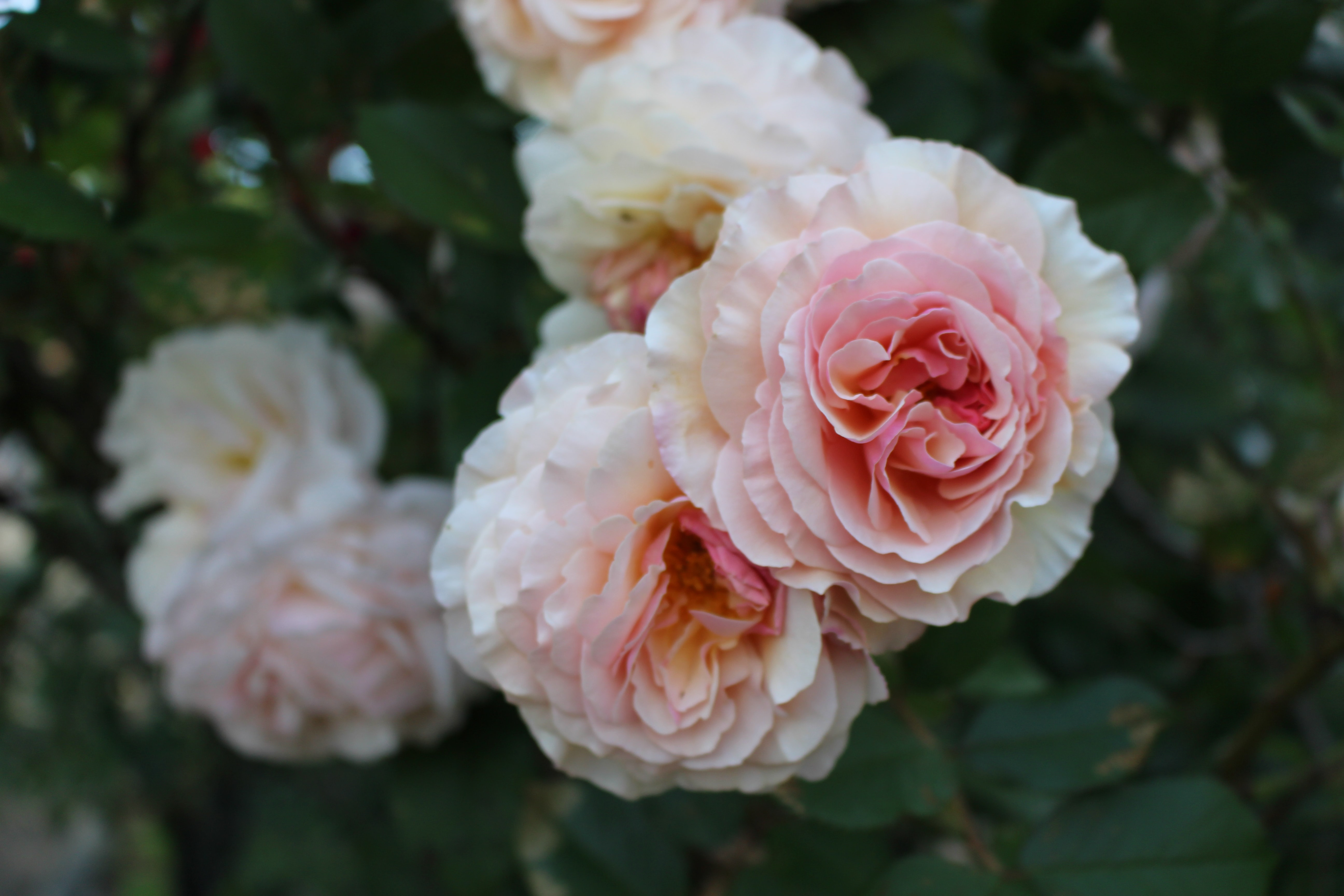 Delicate white and pink roses bloom in a park