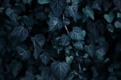 Ivy death stories