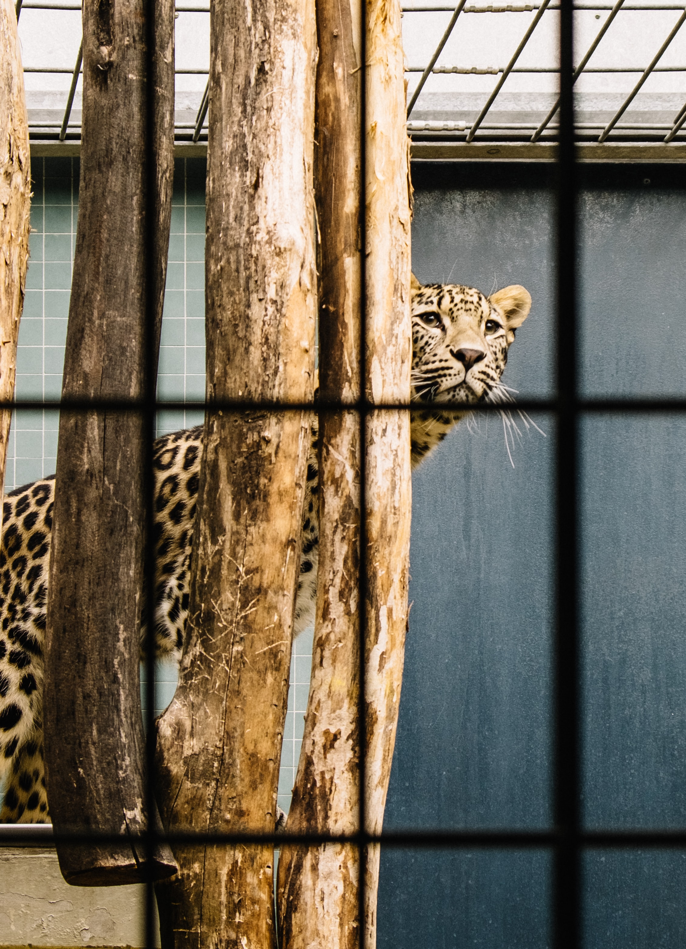 A leopard looking out from behind vertically arranged wood logs in a cage