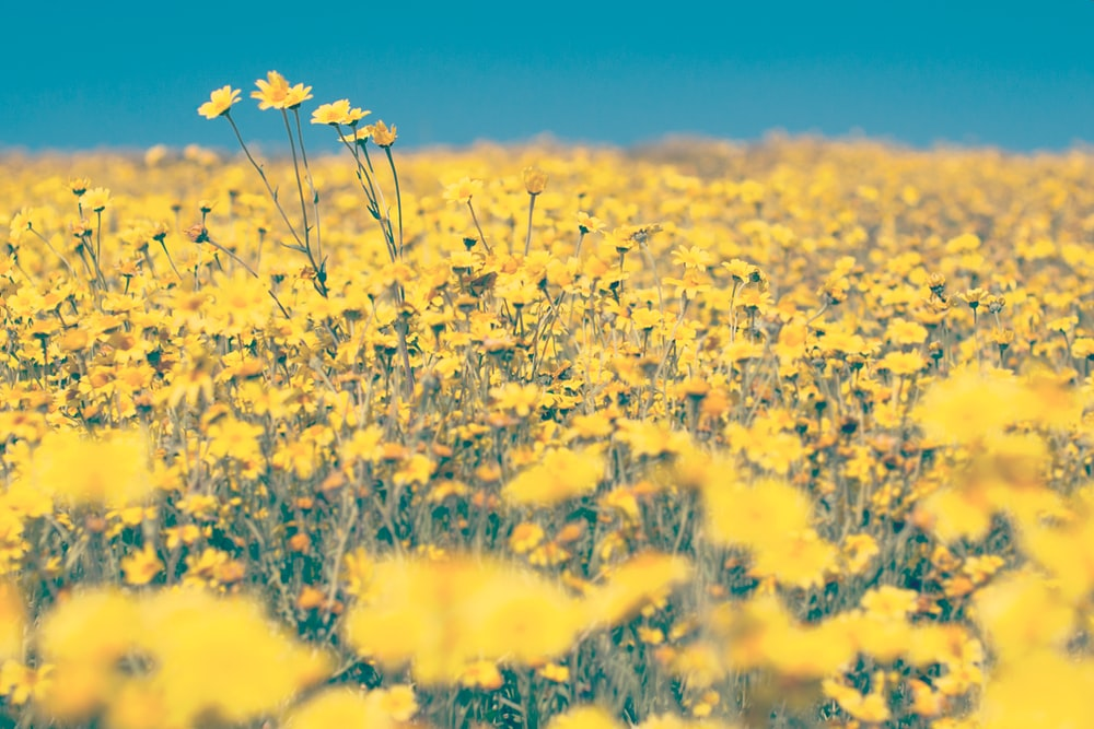 A meadow full of yellow buttercup flowers in full bloom