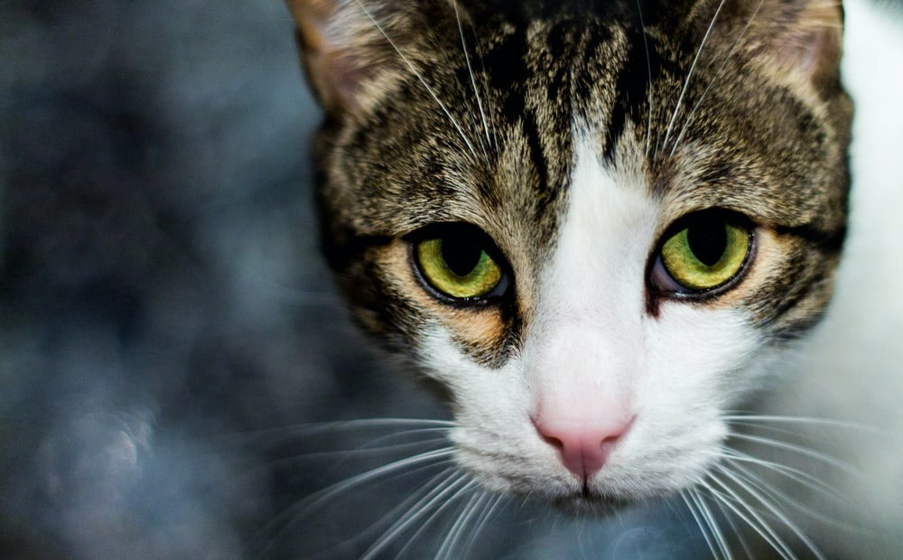 selective focus photography of brown and white cat