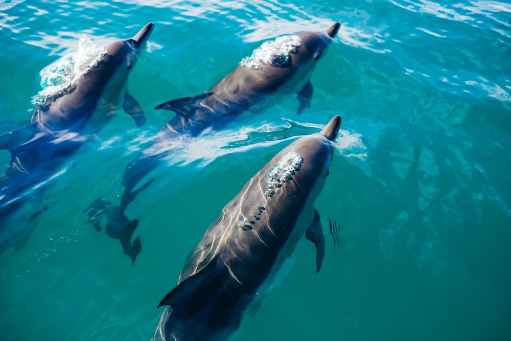 three dolphins swimming in body of water