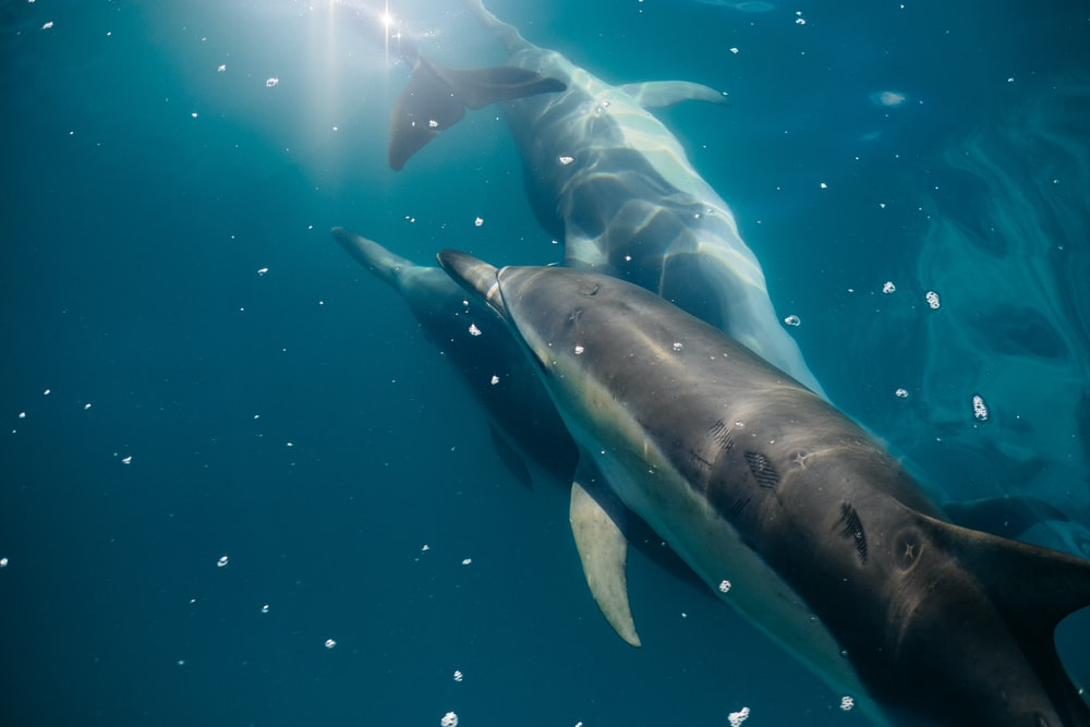 underwater photography of three dolphins