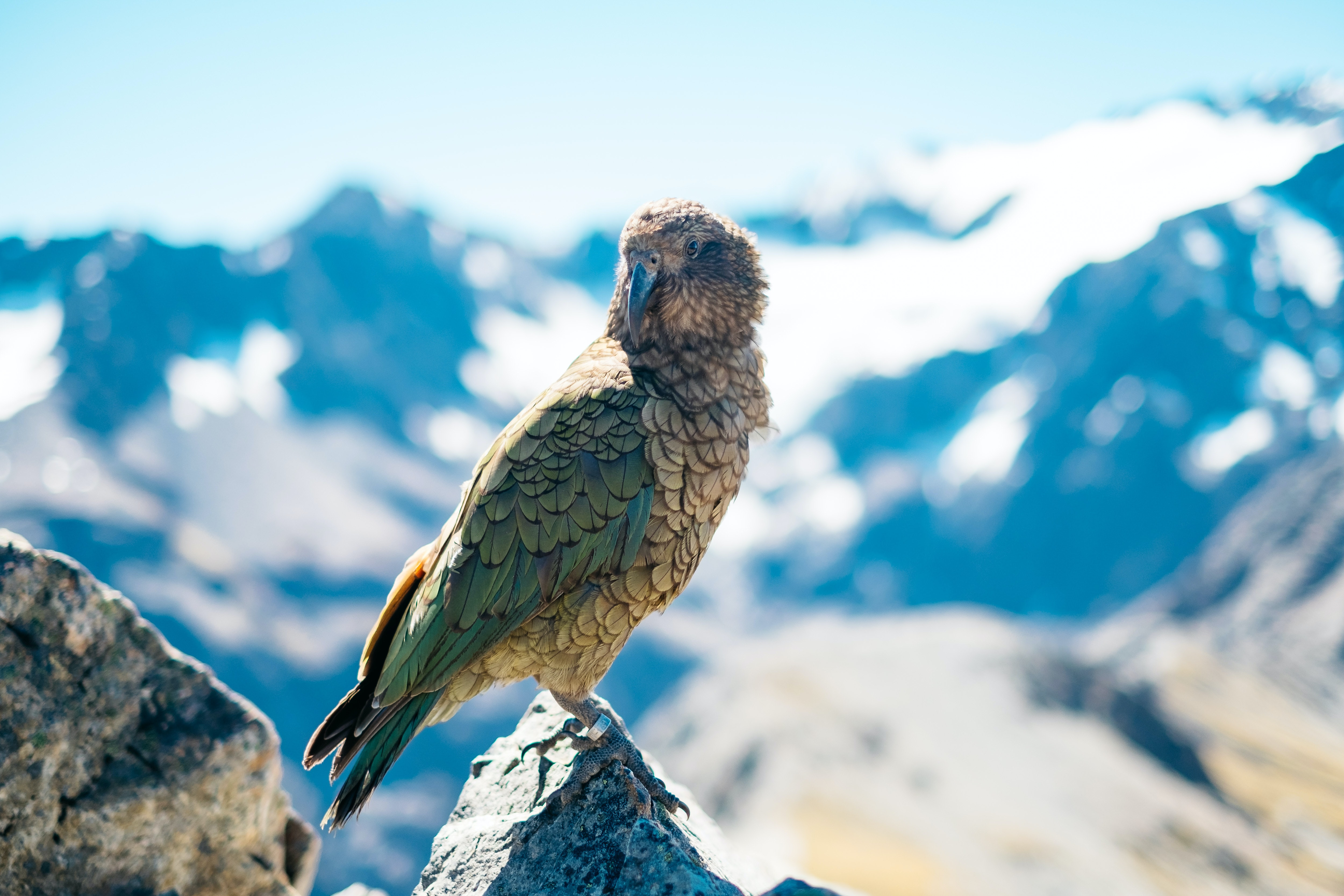 Small bird looks over shoulder in midst of snowy mountains at Arthur's Pass