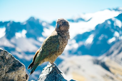 shallow focus photography of gray and green bird on mountain rock during daytime zealand teams background