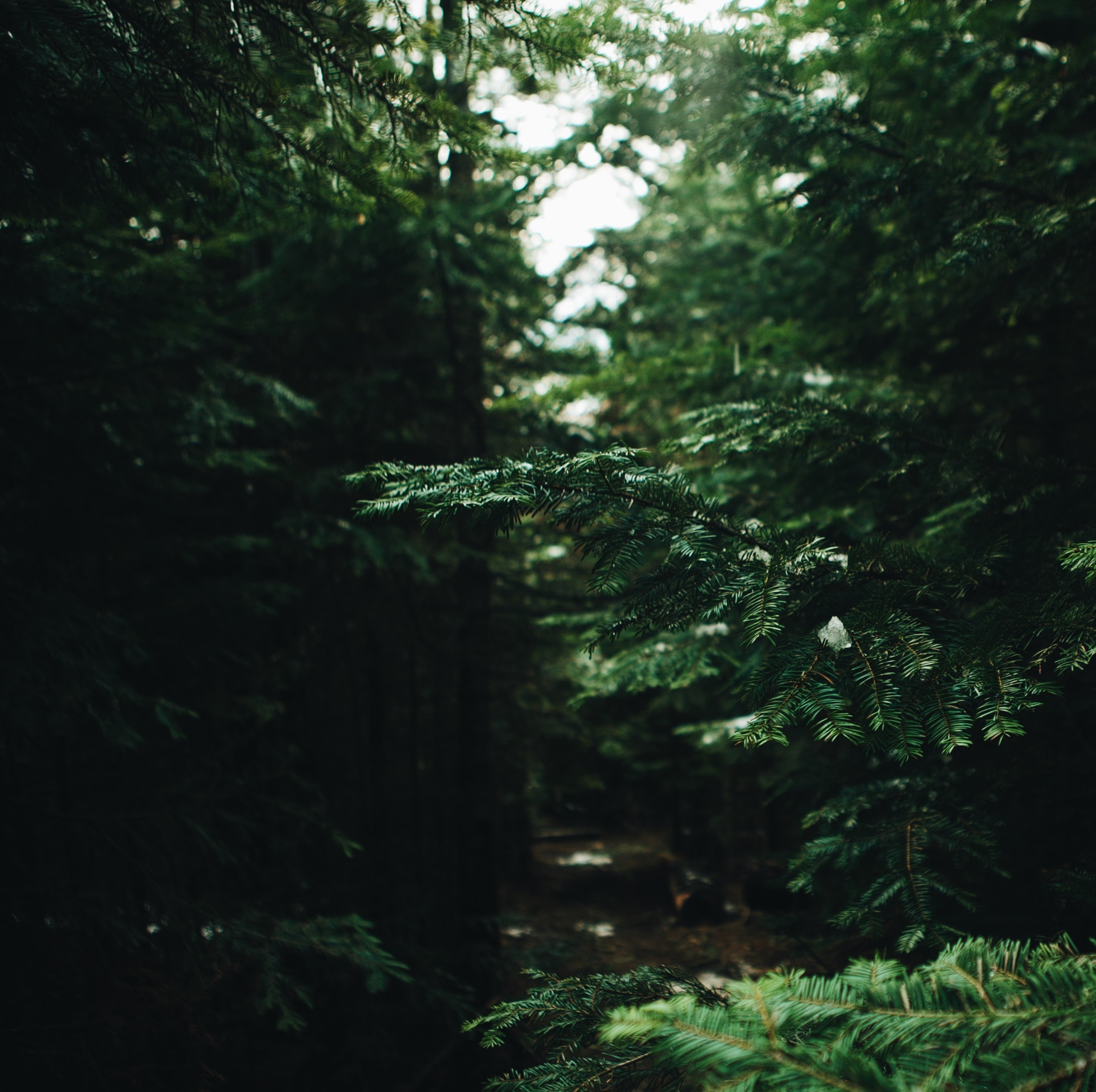 Green coniferous branches hanging over a forest trail