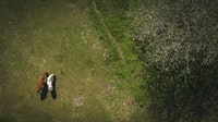 two brown and white animals on green grass near trees