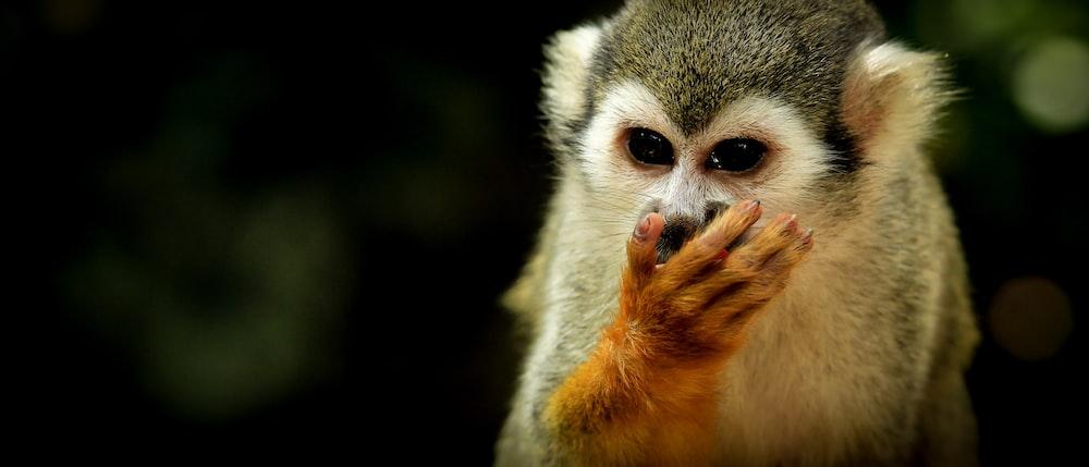 marmoset close-up photography
