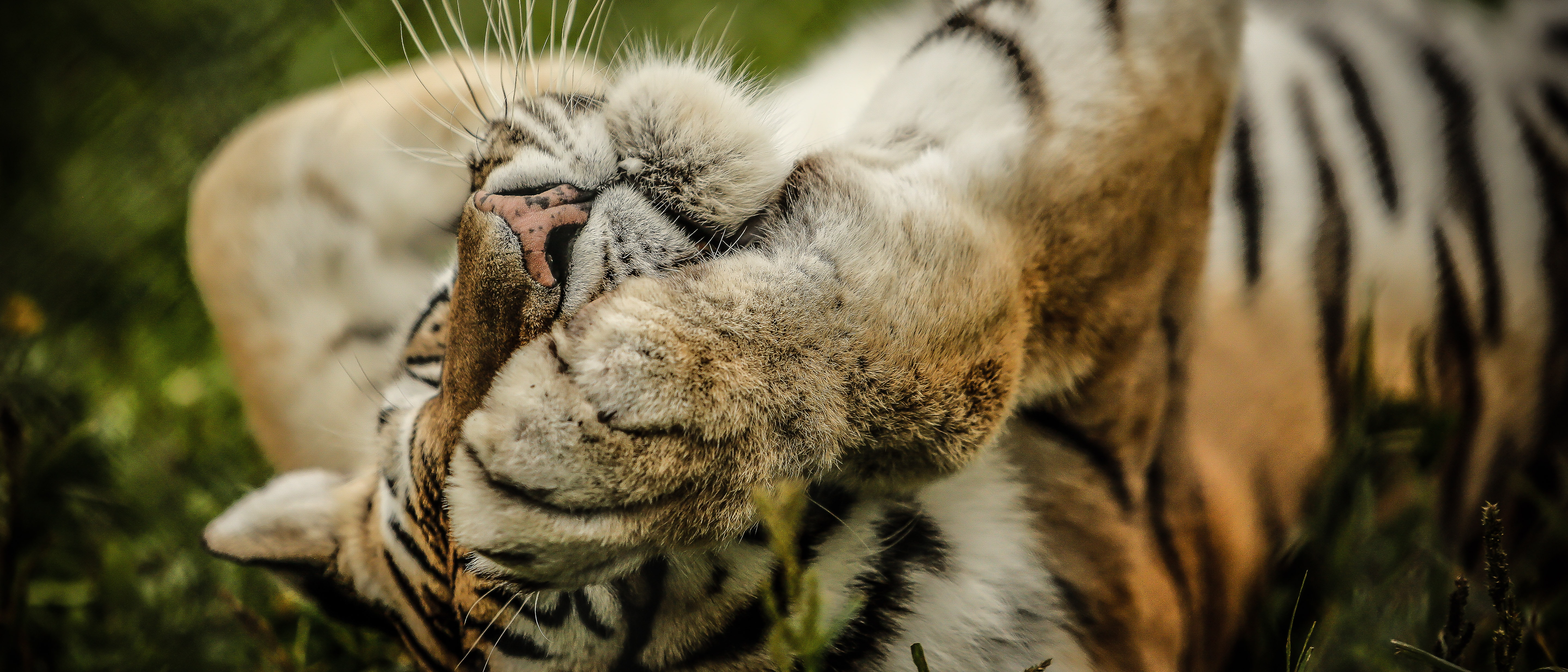 Close-up of a tiger covering its eye with its paw while lying in the grass