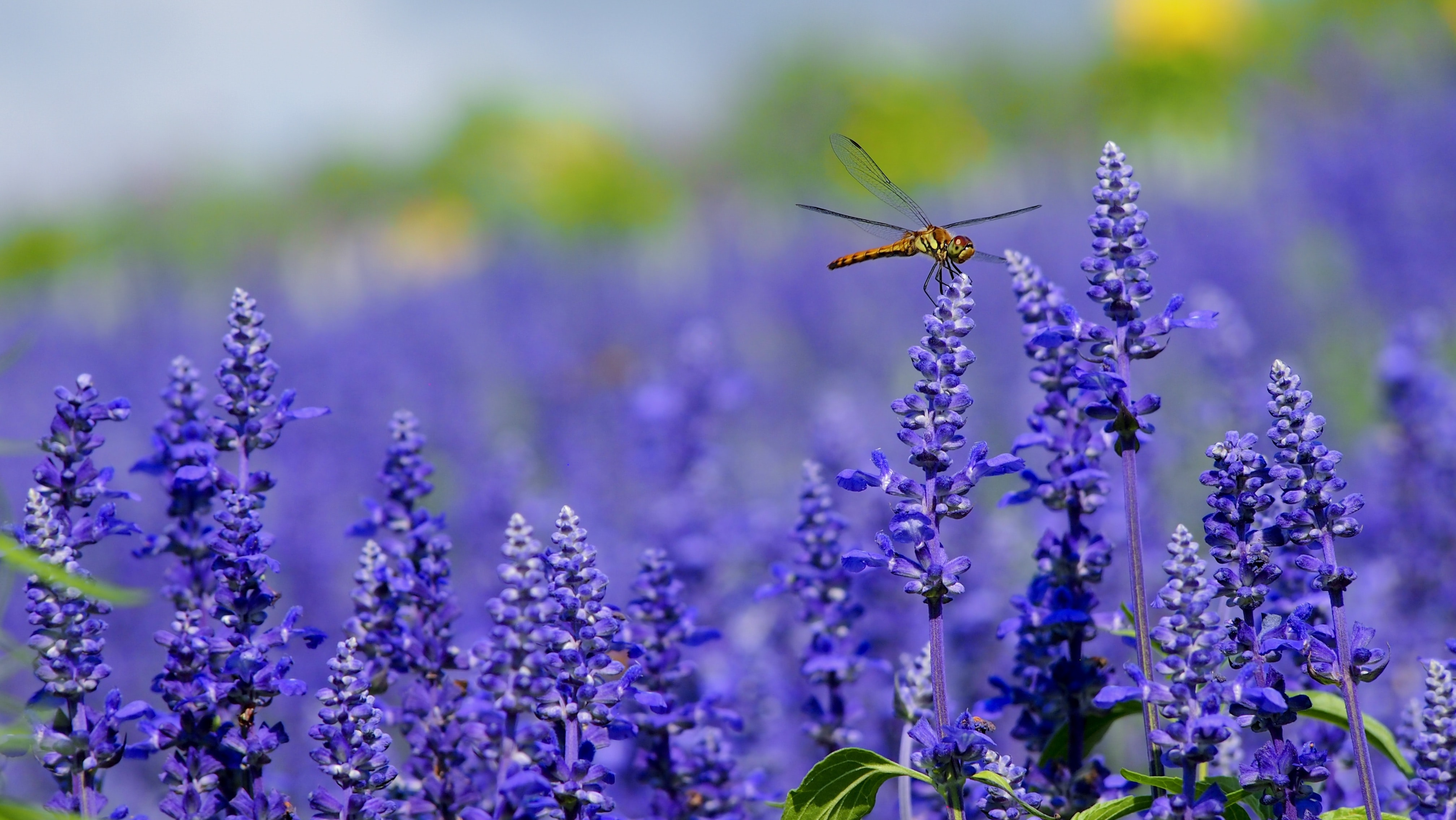 A golden dragonfly on top of lavender flowers