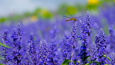 orange dragonfly perched on purple flower flora zoom background