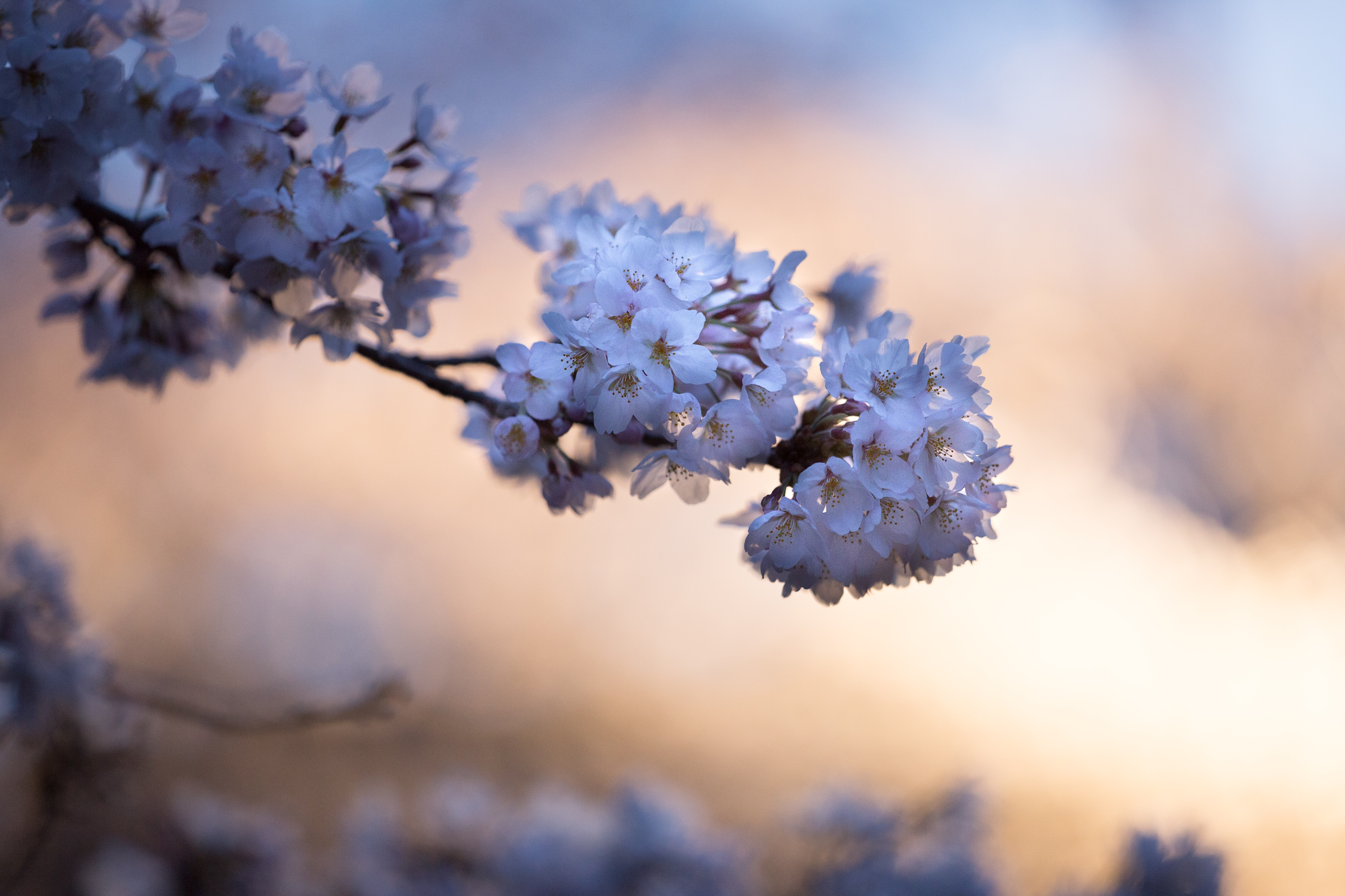 Branch with floral cherry blossom in bloom in Spring