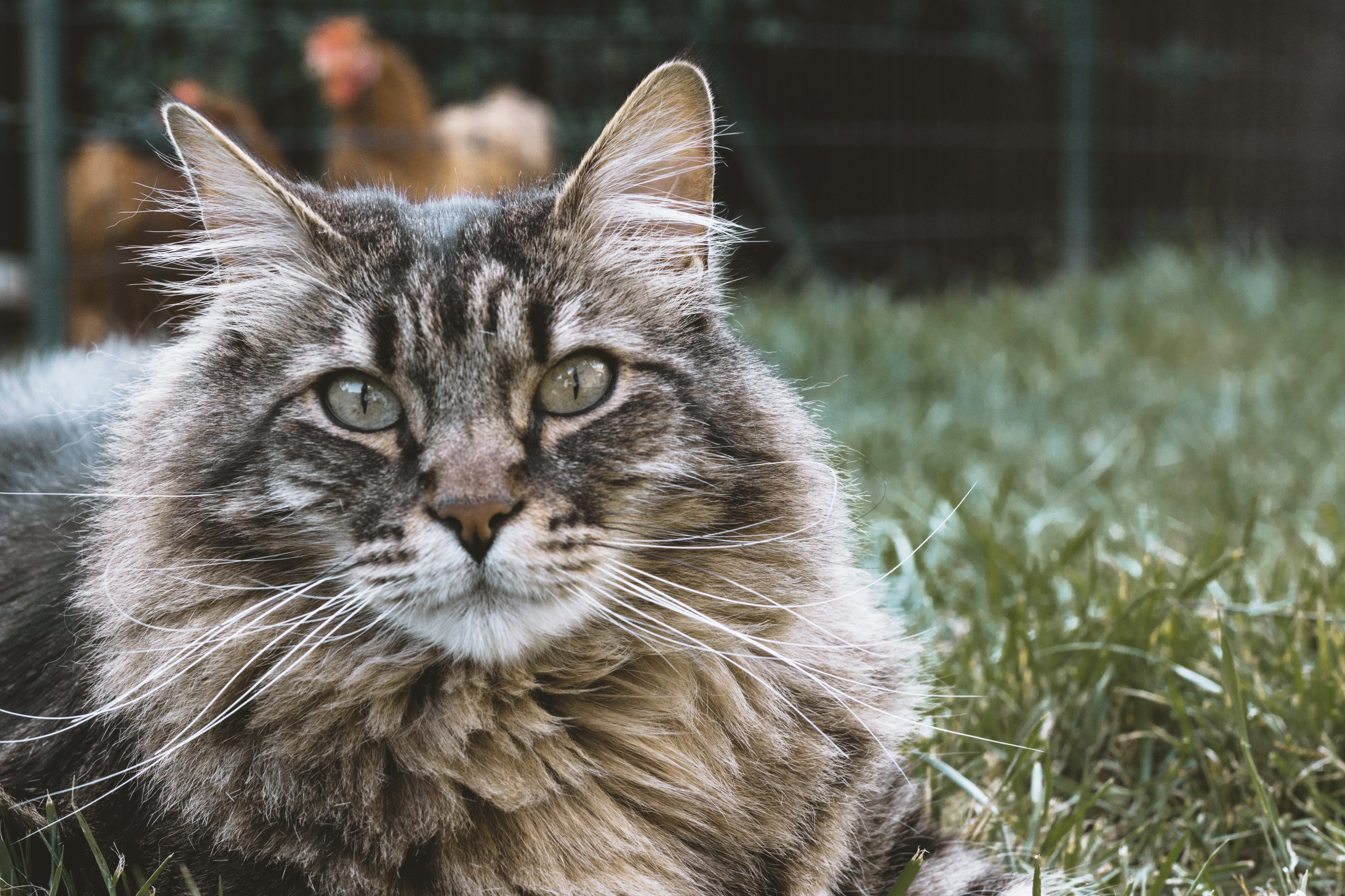 Close-up of a long-haired cat on sitting in green grass