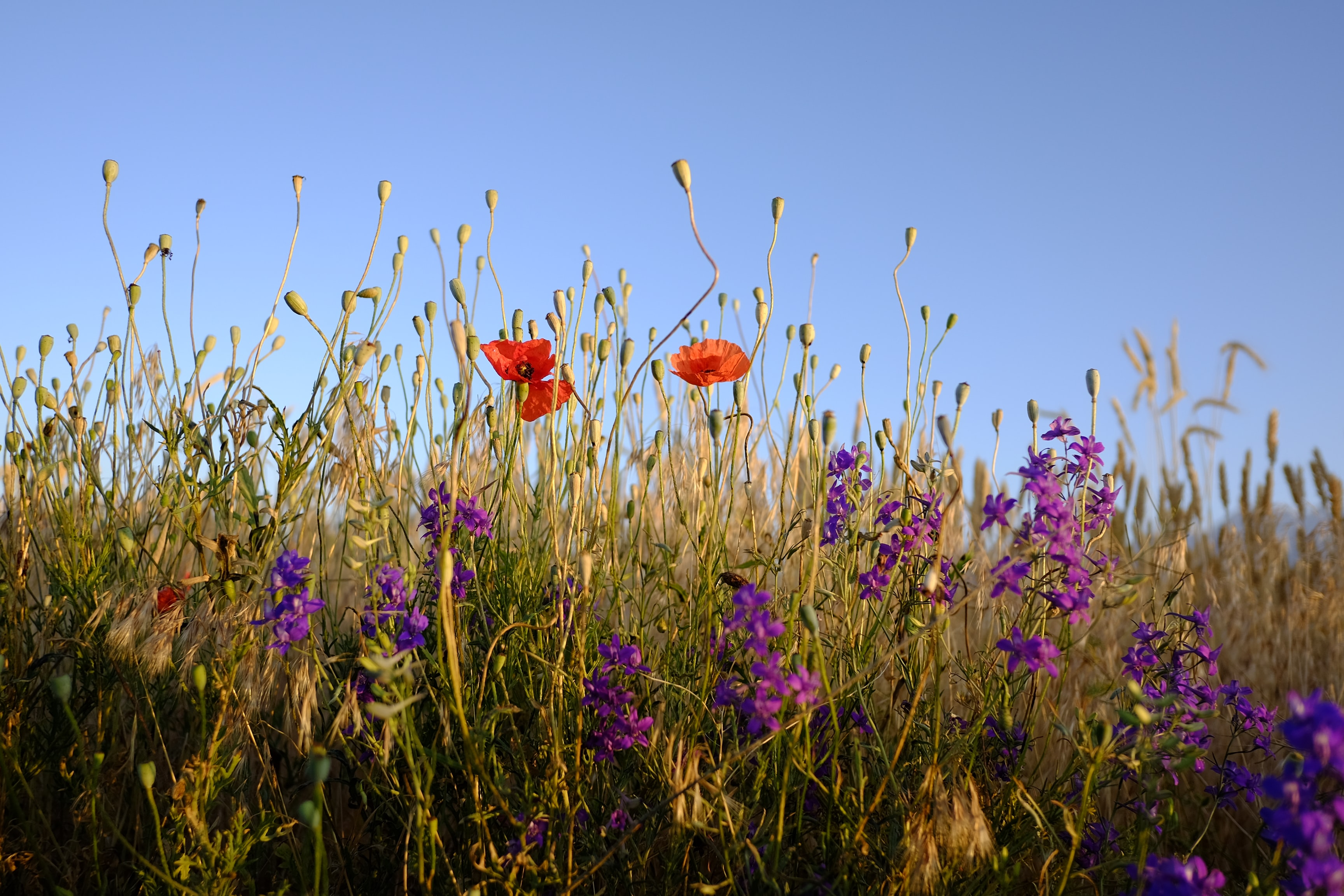A meadow with red poppy flowers and small violet flowers among grass