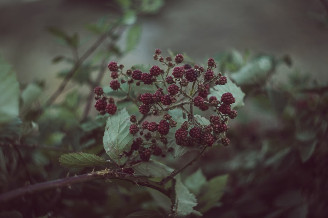 selective focus photography of red cranberries