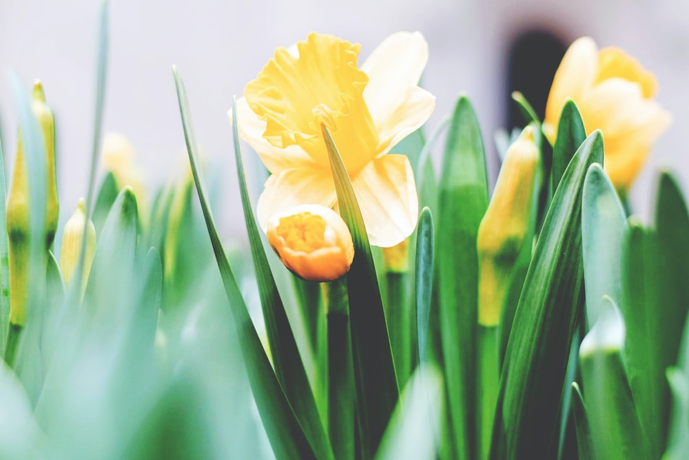 yellow daffodil flowers in bloom in spring