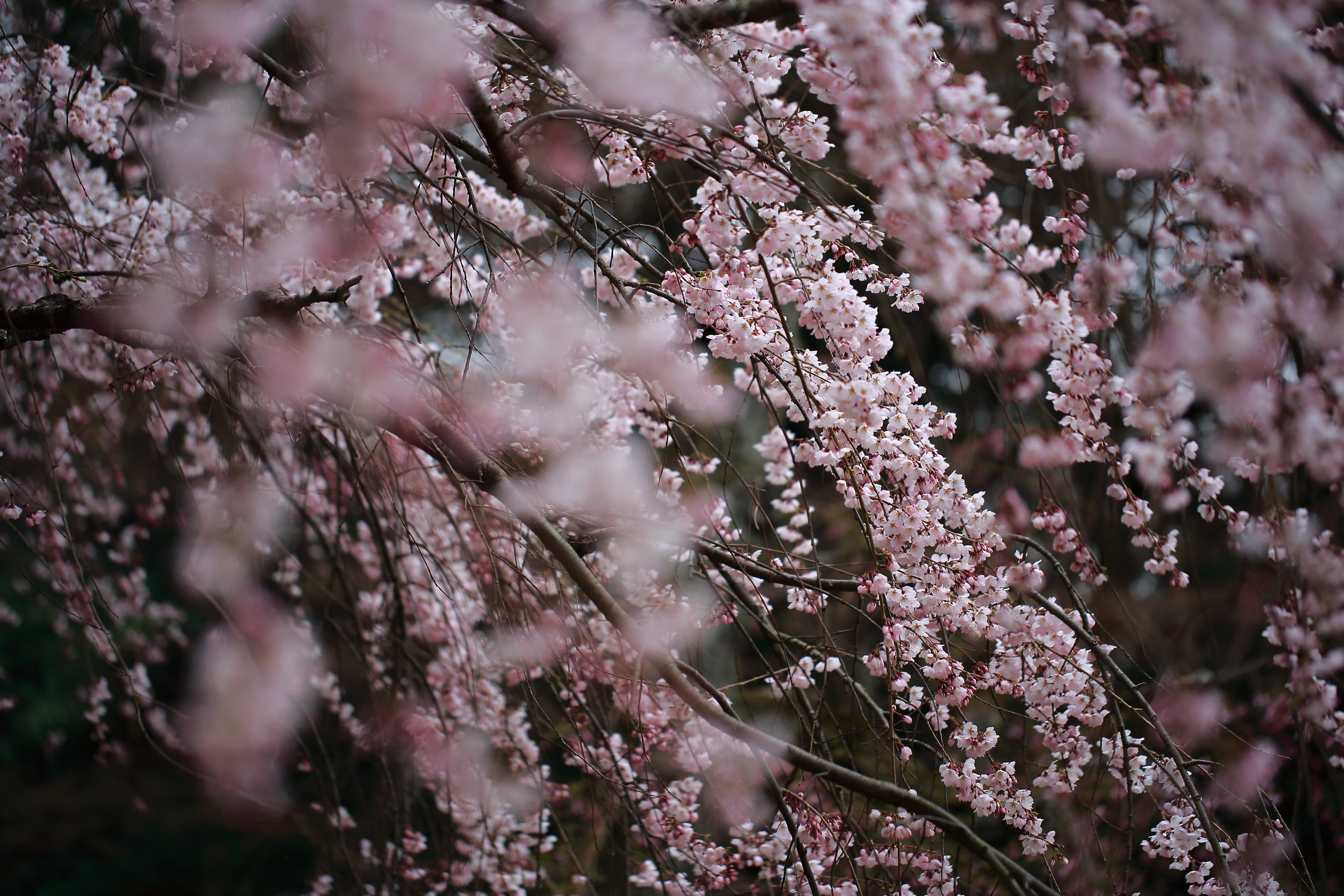 Pink blossom branches in full bloom in Spring, Kyoto Gyoen Garden