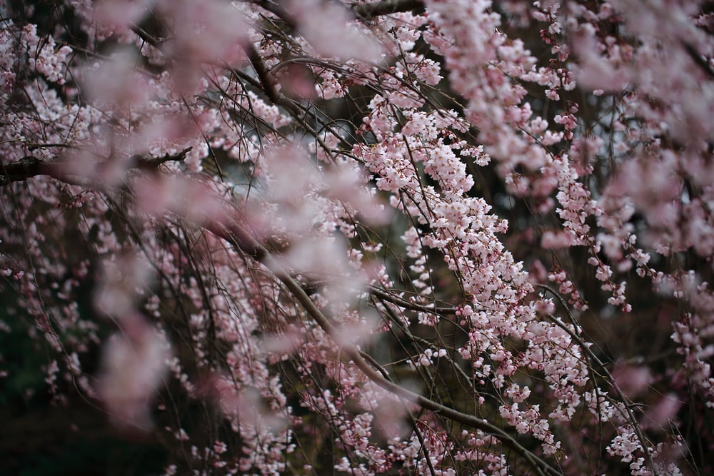 selective focus photography of pink Cherry Blossom