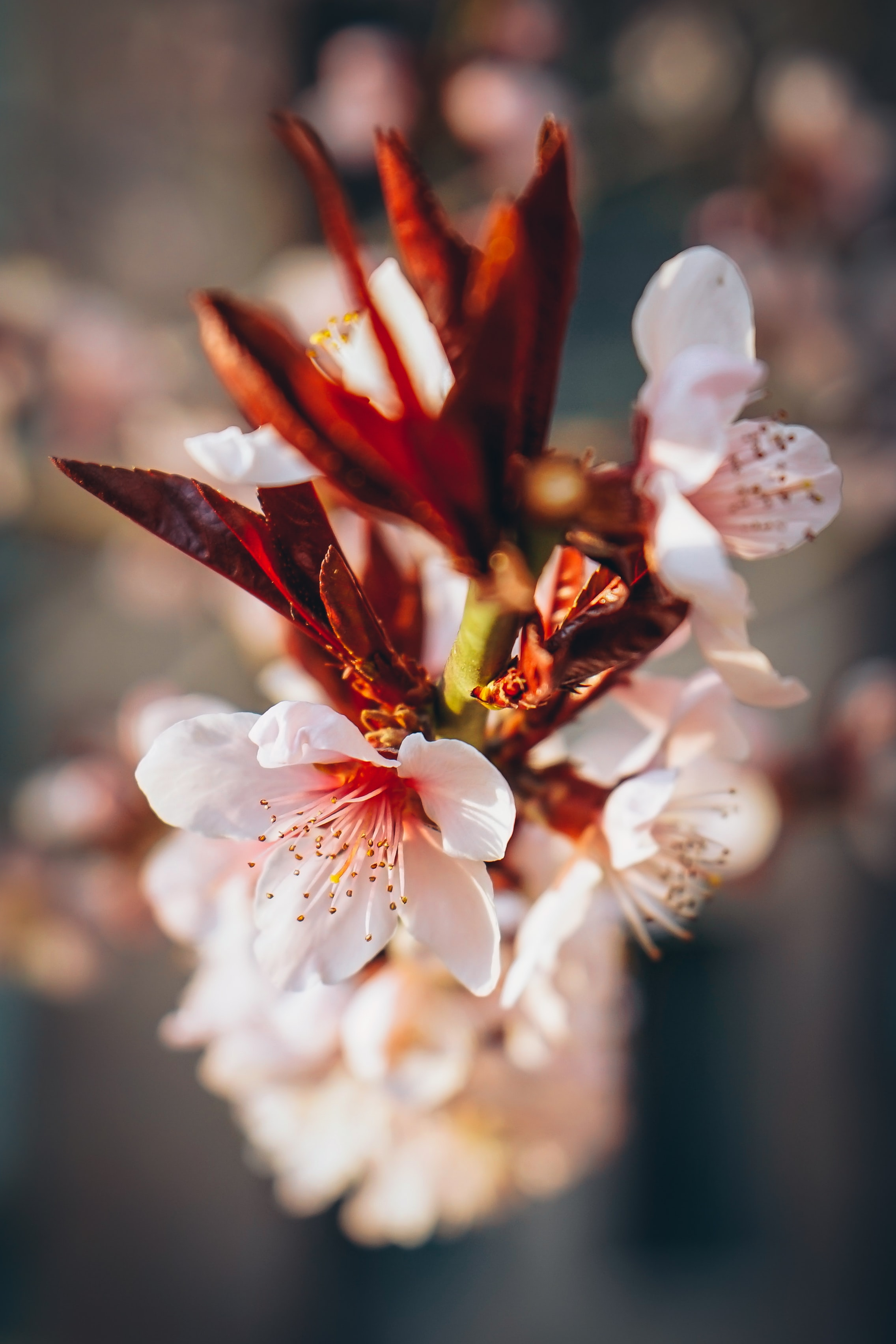 Close up of pink blossom and red petal in Spring, Beijing, China