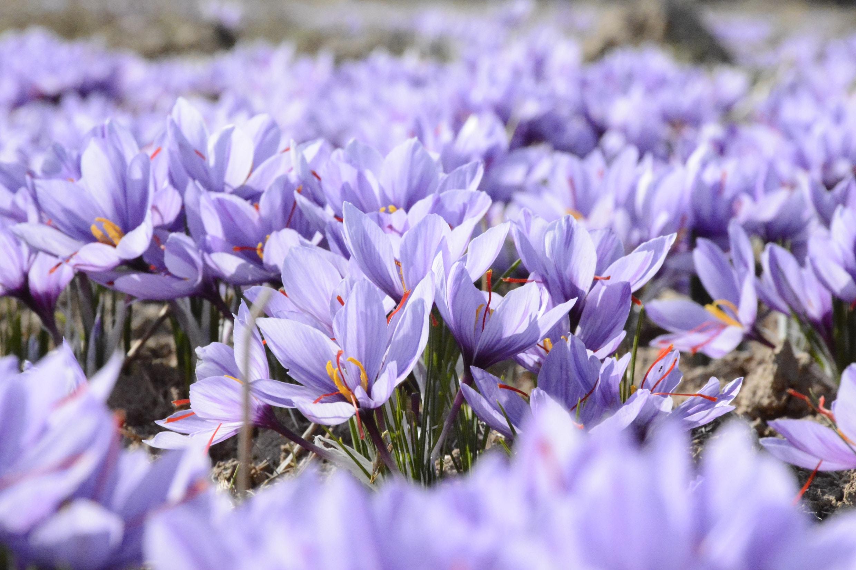 Lilac and purple crocus flowers in Spring, Mashhad
