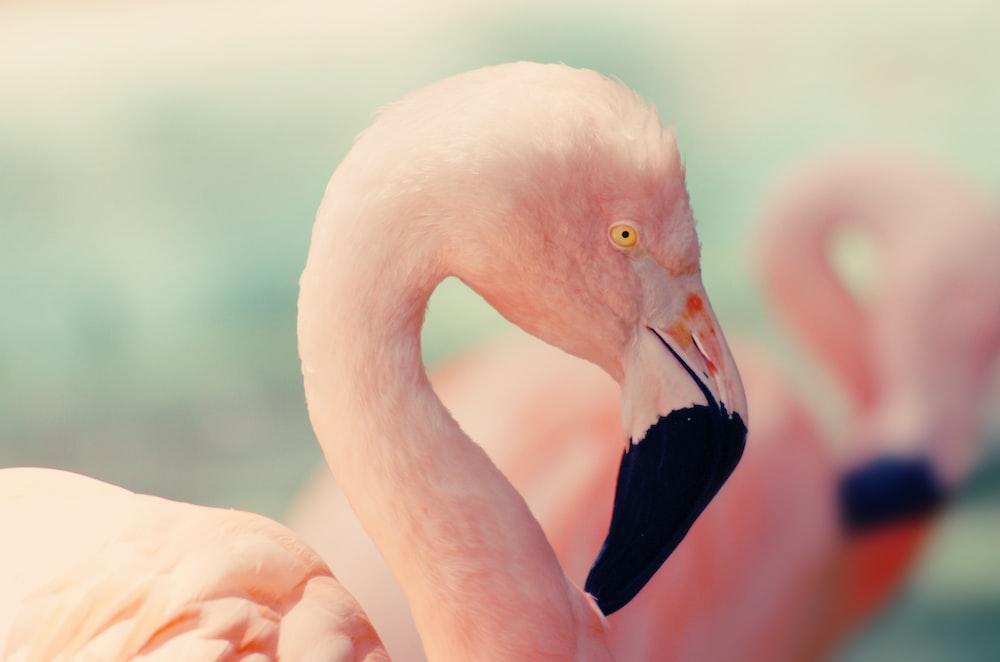 shallow focus photography of pink flamingo