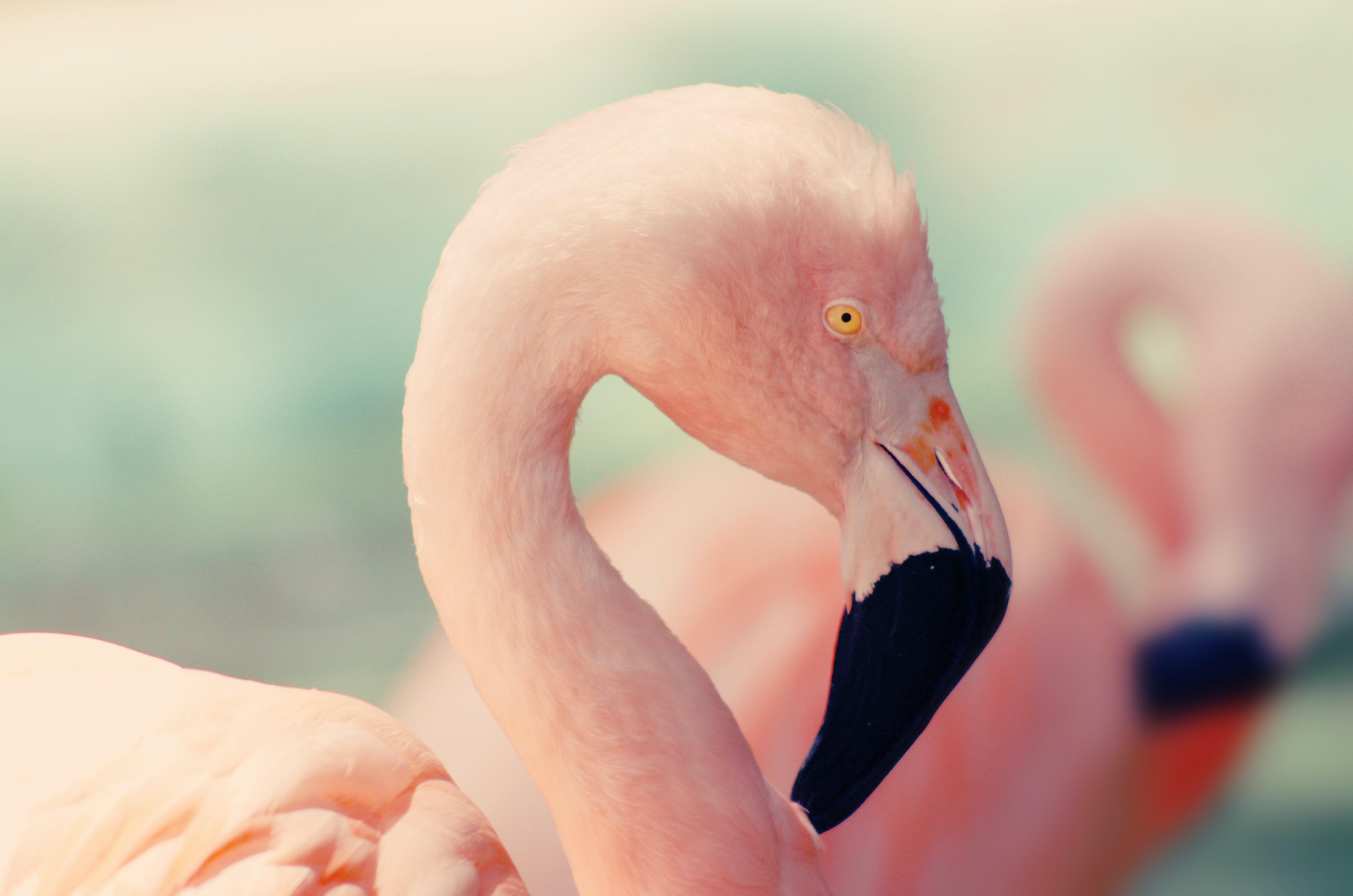 shallow focus photography of pink flamingo