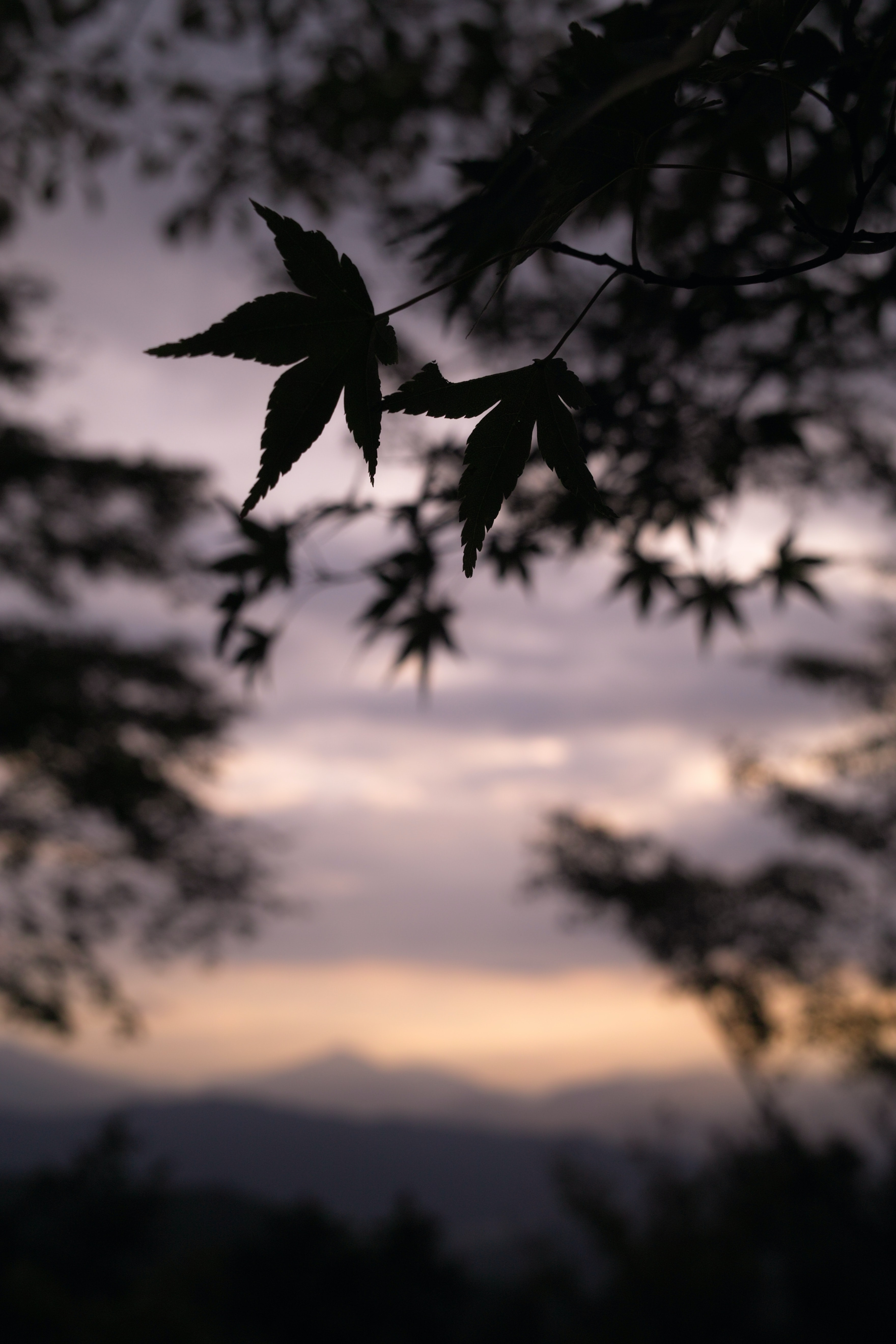 The silhouette of leaves during sunset at Mount Takao