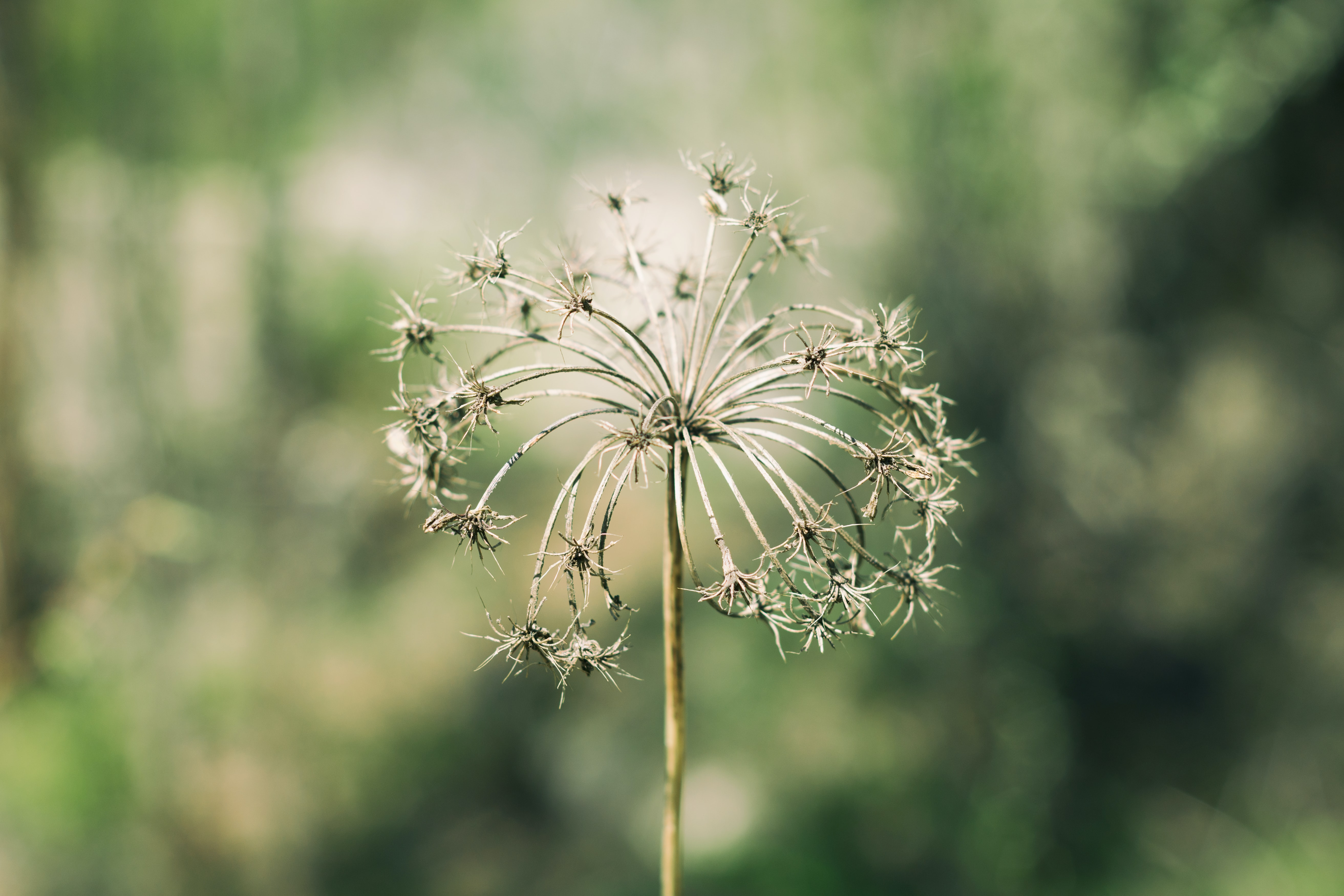 white dandelion flower in closeup photography