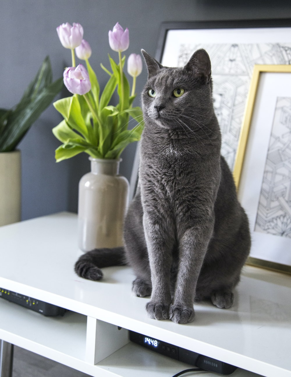 russian blue cat on white table