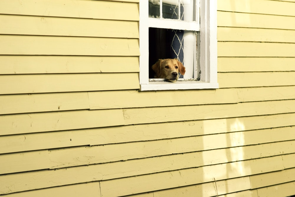 dog on window