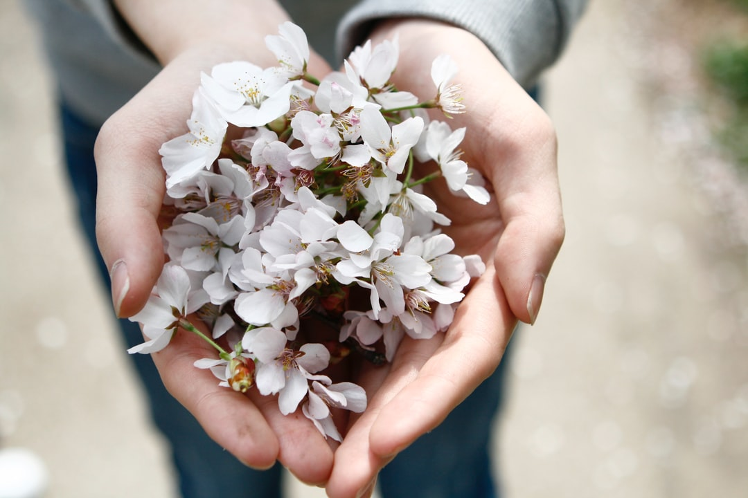 A person's cusped hands holding a bunch of cherry blossom flowers