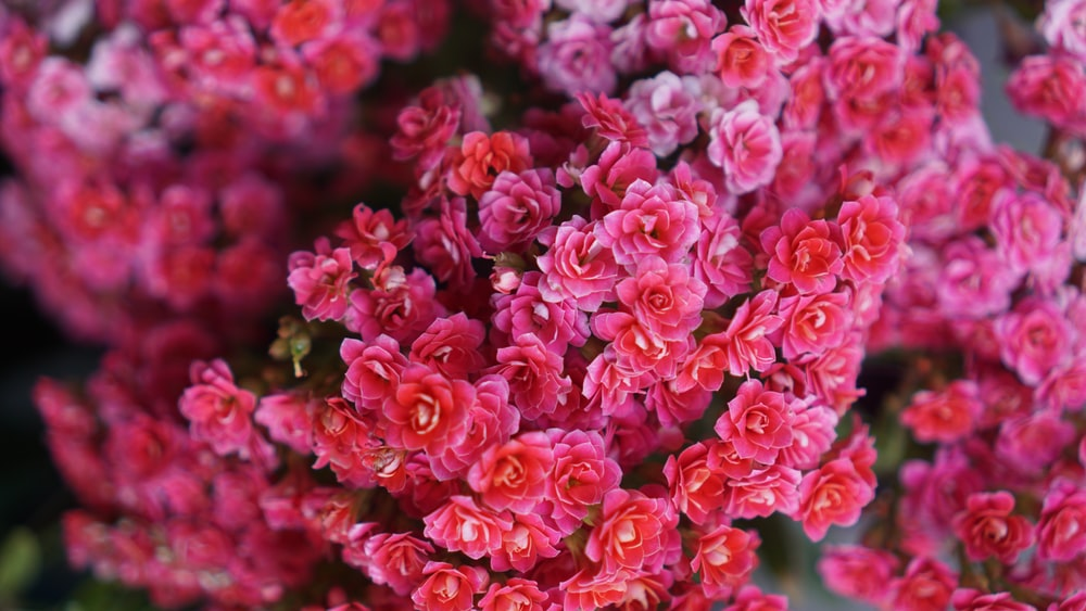 Red flowers from above photo by teo duldulao teowithacamera on shallow focus photography of pink flowers mightylinksfo